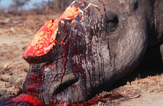Rhinos are being poached to extinction for their horns